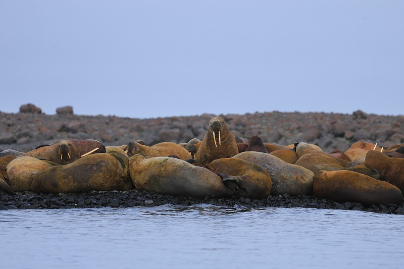 В Белое море возвращаются атлантические моржи