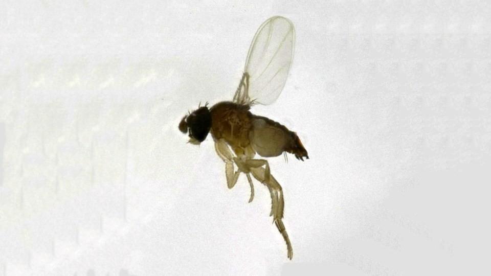 Внимание! Нам угрожает муха-горбатка