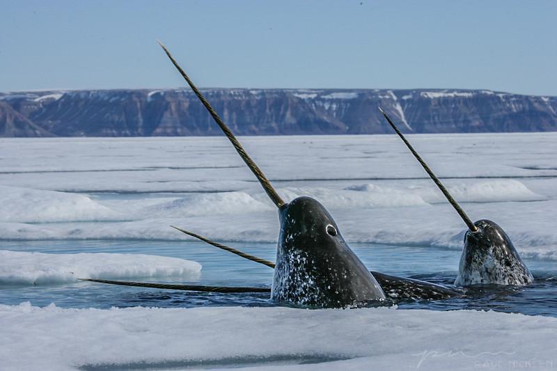 Учёные намерены посчитать нарвалов в Арктике