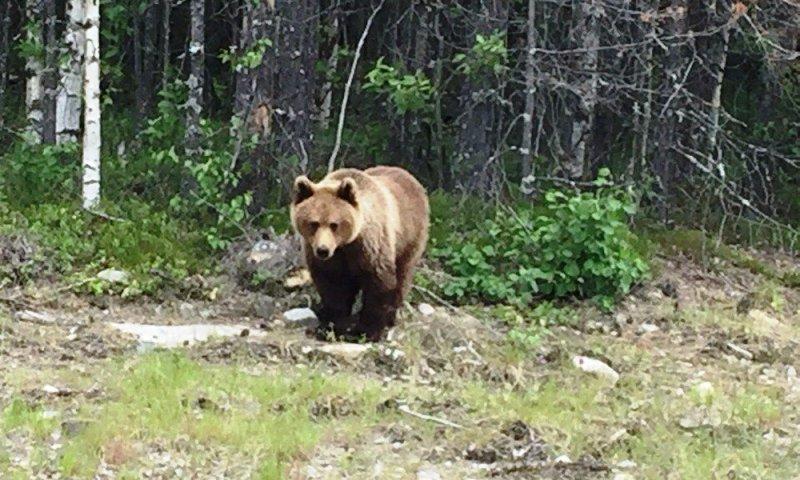В Архангельской области вокруг сёл бродят медведи