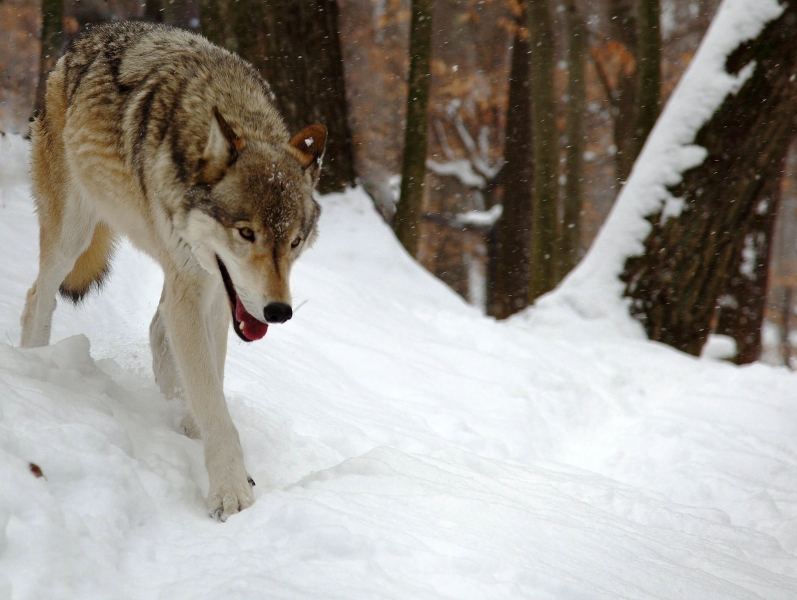 В посёлке Талаги под Архангельском волки устроили себе столовую