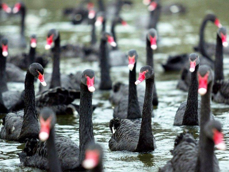 Озеро «чёрных лебедей» российской экономики грозит выйти из берегов