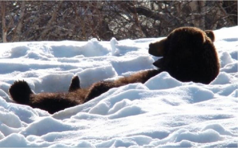 Медведь попался, бактерия нашлась
