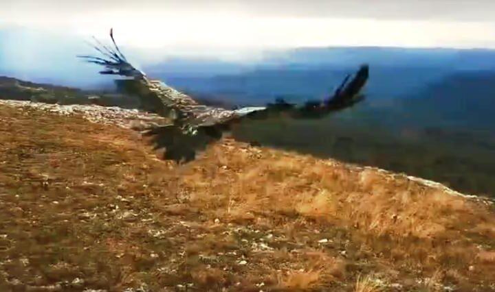 Архангельский сип Арли обрёл свободу в Крыму
